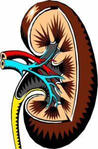 schema nierfunctie-biologika-430x653